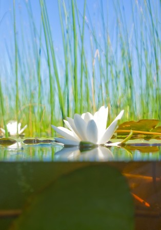 nenuphar: how the water-lily grows , a picture of a surface and underwater part