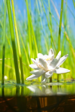 how the water-lily grows , a picture of a surface and underwater part photo