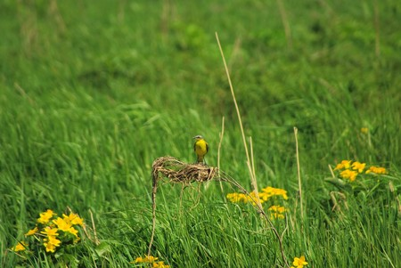 The yellow wagtail on a meadow sits on a stalk photo