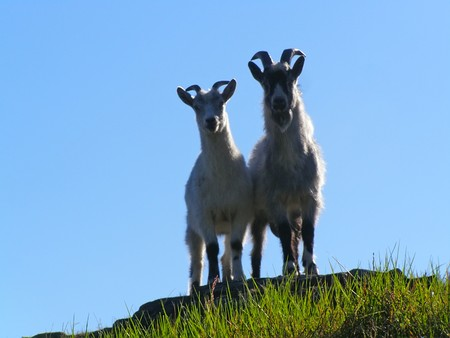 Goats on the free maintenance, it is isolated, on island. Stock Photo - 7331867