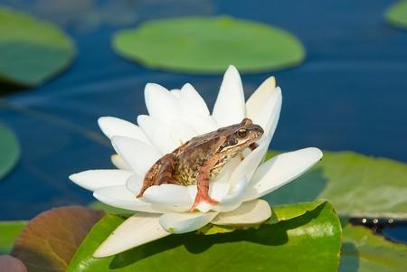 lirio de agua: Rana sentada sobre una flor de notable de un lirio de agua
