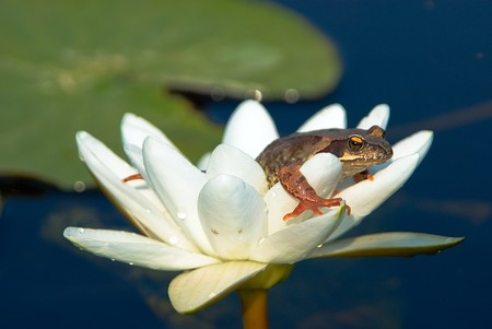 Frog sitting on a remarkable flower of a water-lily photo