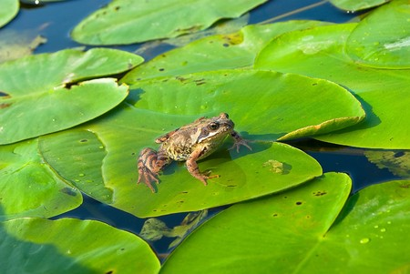 Frog sitting on water-lily leaf on the river