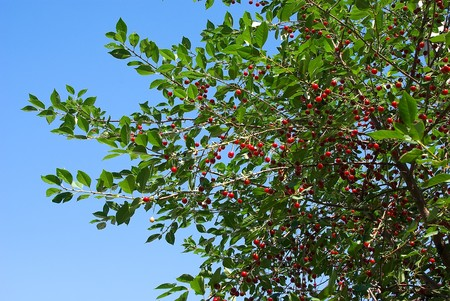 Cherry tree covered with ripe fruits photo