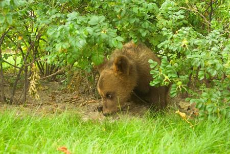 tame: Una serie: una foto con un oso de tame de circo en pie  Foto de archivo