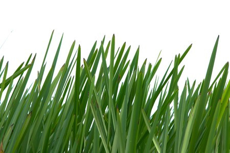 windless: Thickets of reed mace  on a white background Stock Photo