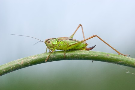 A series: grasshopper on a stalk close up Stock Photo
