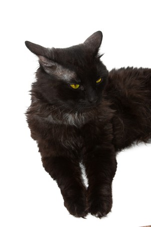 Beautiful black cat on a white background photo