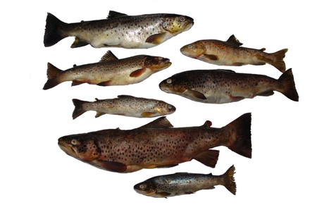 Fish Salmon Stock Photo
