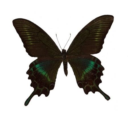 Butterfly MaackS Swallowtail Stock Photo