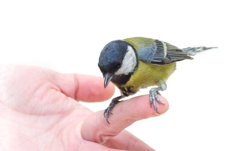 The titmouse  sitting  on a hand