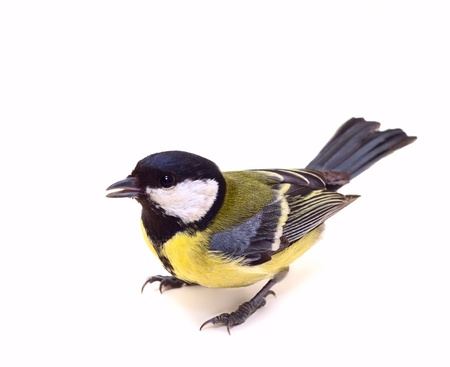 blue tit: Great Tit, Parus Major 7