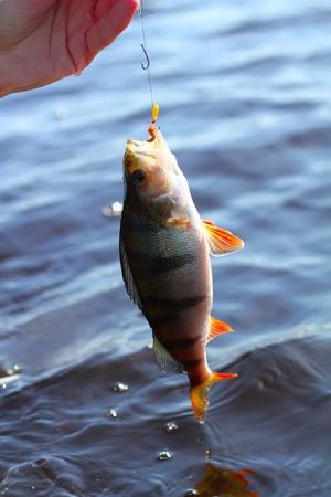 perca: now caught perch