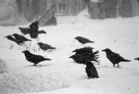 Ravens  and strong wind ( Commander Islands ) photo