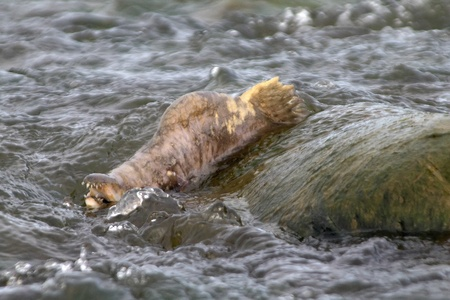 salmon migration: The emaciate male of  humpback salmon in lower part of spravning stream Stock Photo