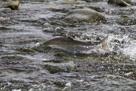 spawning: el salm�n de plata pasando desove en curso bajo del r�o