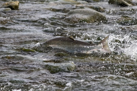 upstream: the Silver salmon going on spawning in lower reaches of the river Stock Photo