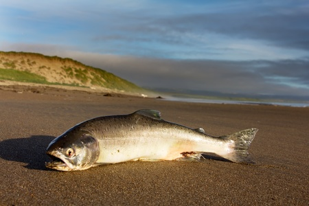 salmon migration: A female of Silver salmon cast ashore by surge of ocean in a mouth of the spawning river