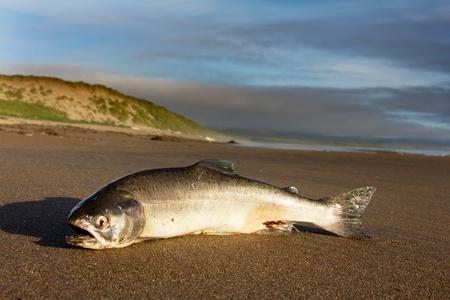 spawning: Una hembra de salm�n de plata fundido en tierra por la oleada de oc�ano en la boca del r�o de desove