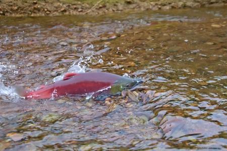 spawning: main run  blue-backed salmon ( Commander Islands )