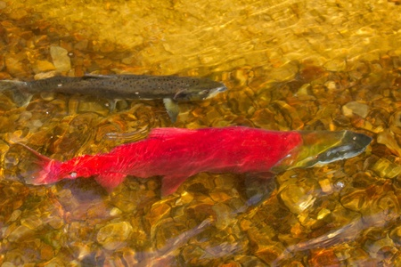 main run  blue-backed salmon ( Commander Islands ) photo