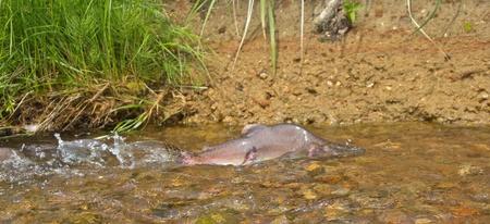 cours d eau: m�le de saumon � bosse (Oncorhunchus gorbusha) dans le cours d'eau en bas Banque d'images