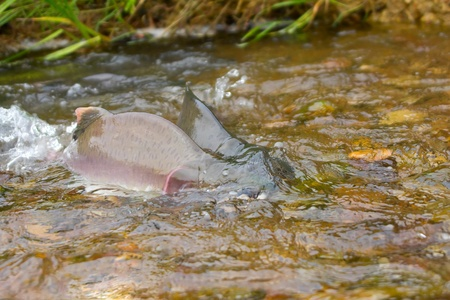salmon migration: Fighting males of humpback salmon, river headwaters Stock Photo