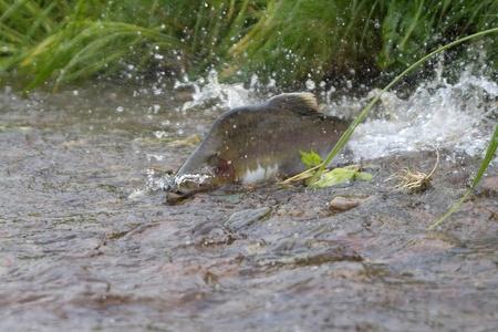 spawning: hombre de salm�n jorobada se ranning al lugar de desove en un fan de las salpicaduras de agua