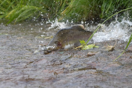 upstream: male of  humpback salmon is ranning to the  spawning place in a fan of splashes of water Stock Photo