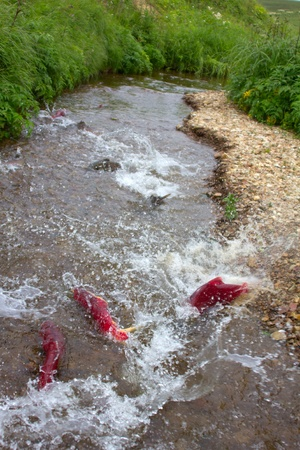 salmon migration: main run  blue-backed salmon ( Commander Islands )