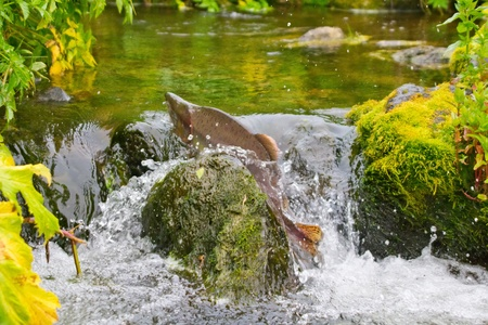 Fighting males of humpback salmon, river headwaters Stockfoto