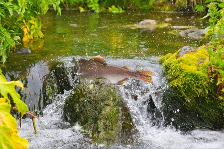 Fighting males of humpback salmon, river headwaters photo