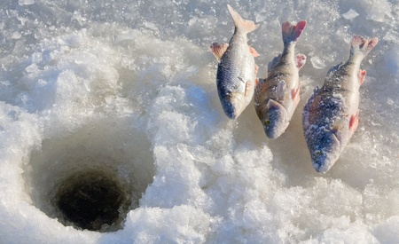 sportfishing: perch fishing 4 Stock Photo