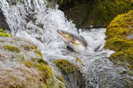 truchas: El salmón jorobado se eleva hacia arriba en las caídas Foto de archivo