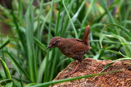 songster: The Wren (Troglodytes troglodytes) naer a nest under a peat hummock. Commander Islands. Kamchatka Stock Photo