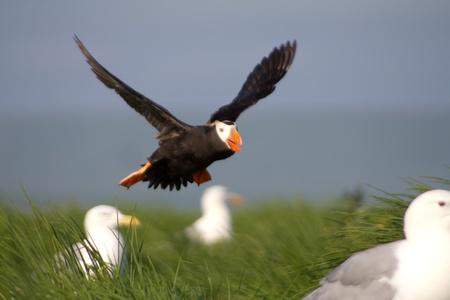 tufted puffin: The tufted puffin  (Lunda cirrhata) lands to nesting place between gulls Stock Photo