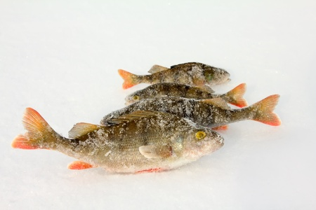 The caught fishes on a ice spinner fishing Stock Photo - 12671839