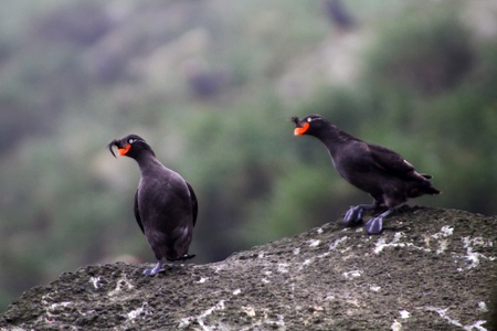 Pare of Crested Auklet ((Aethia cristatella): reproductive behavior. Commander Islands Stock Photo - 12749397