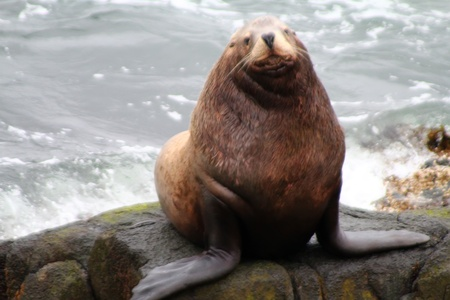 Male of the Northern sea lion (Steller sea lion) (Eumetopias jubatus). Commander Islands Stockfoto