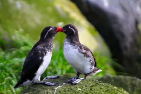 Reproductive behavior pare of the Parakeet Auklet (Cyclorrhynchus psittacula): billing. Commander Islands. Stock Photo - 12671898