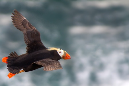 Tufted Puffin (Lunda cirrhata) in flight. Commander Islands photo