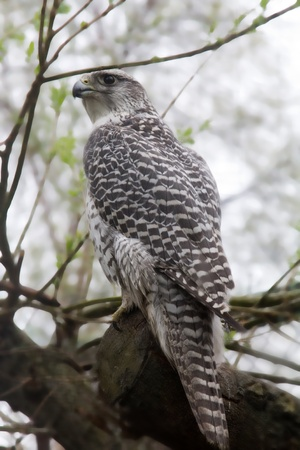 White morph of the Siberian gyrfalcon (Falco rusticolus intermedius).  photo