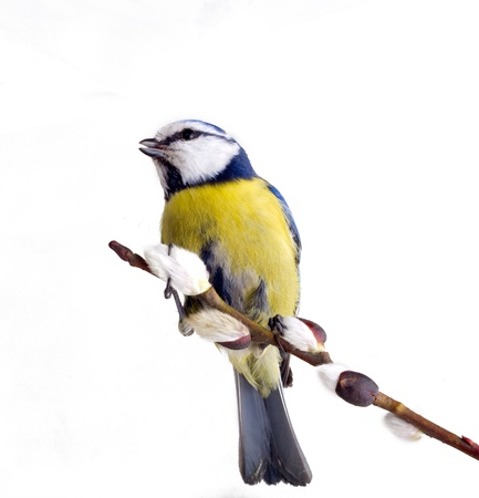 titmouse on tree branches on a white background. spring. Stock Photo - 13074273