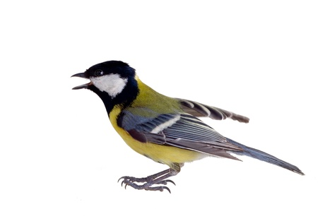 titmouse on a white background close up. spring.