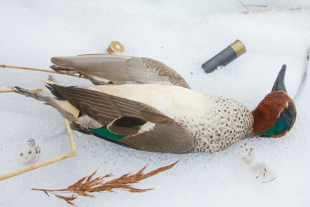 take European teal (Anas crecca) on spring hunting Stock Photo - 13330711