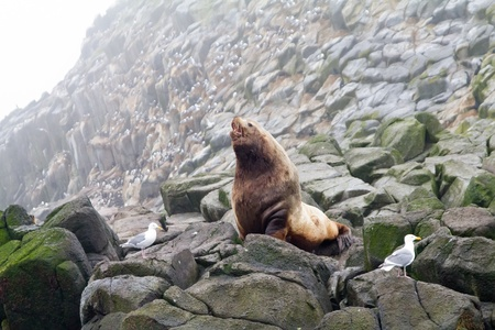 Male of the Northern sea lion (Steller sea lion) (Eumetopias jubatus). Commander Islands photo