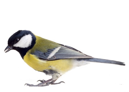 Titmouse on a white background close up photo