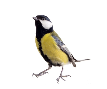 great tit: titmouse on a white background close up. spring.