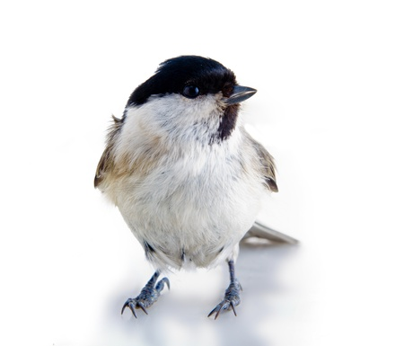 titmouse on a white surface on a white background. spring. Stock Photo - 13697161
