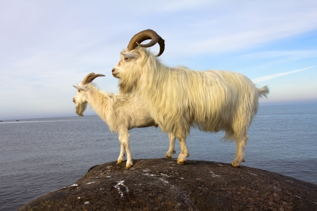farm goats on the seashore in the summer afternoon